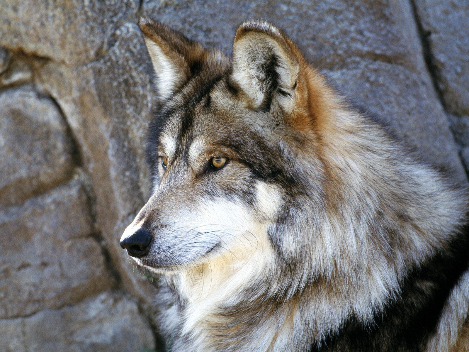 http://wolf-whisper305.tripod.com/sitebuildercontent/sitebuilderpictures/mexicanwol.jpg
