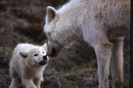 Arctic wolf pack with pups